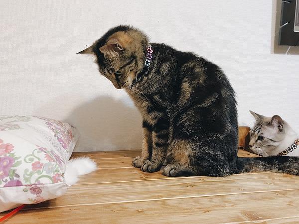 まくらの下に忍ばせた猫じゃらしを見ているキジトラ猫と、後ろにももう1匹…