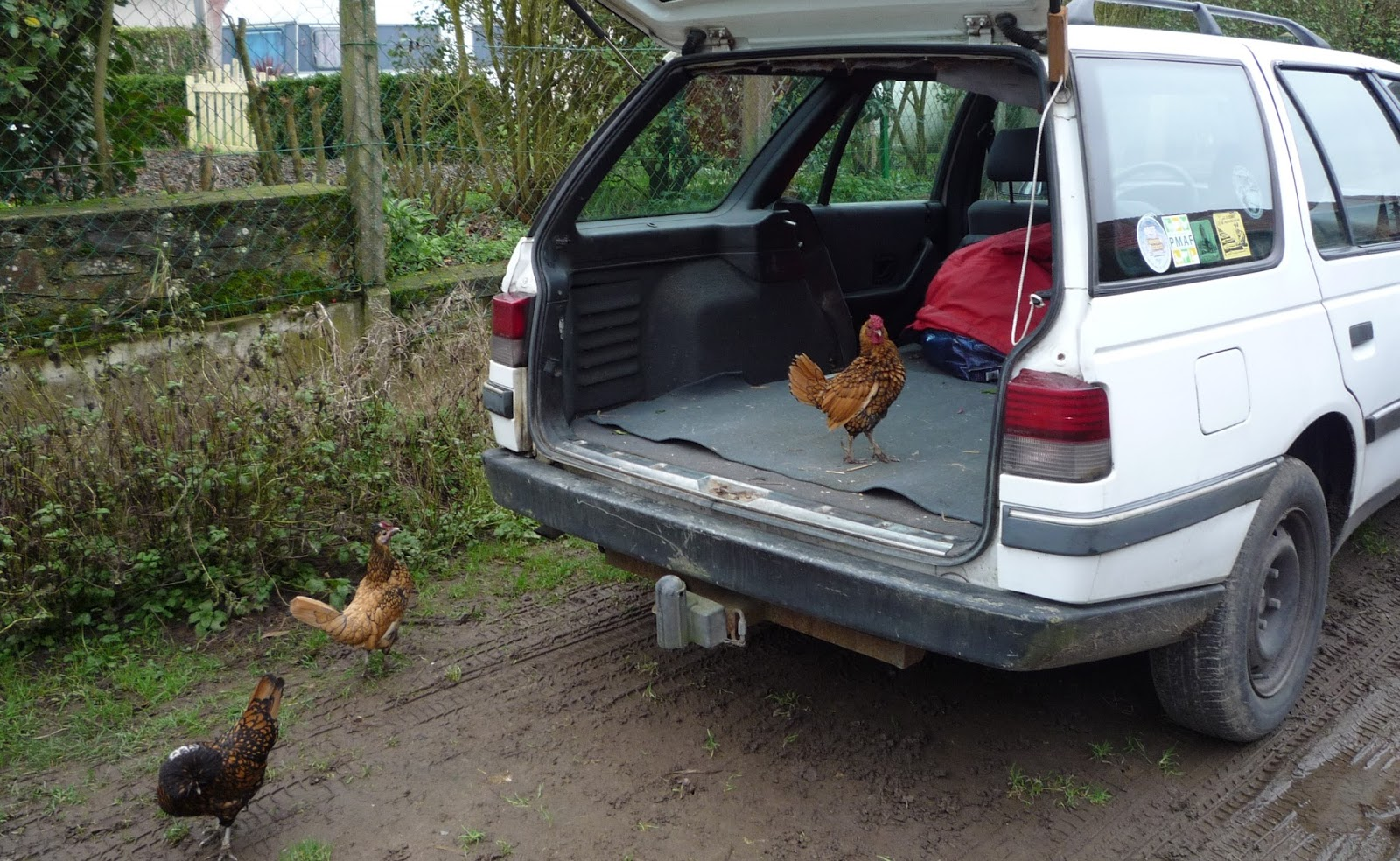 Golden Sebright rooster and friends