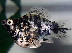 Jenis Ikan Hias balon Dan Harganya Di Pasaran