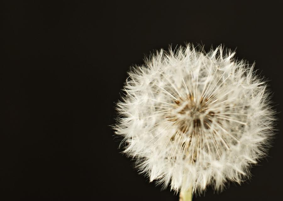 Blog + Fotografie by it's me! - fim.works - Pusteblume ganz aus der Nähe