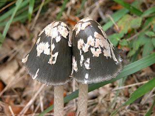 Coprinopsis picacea - Coprin pie - Coprin noir et blanc