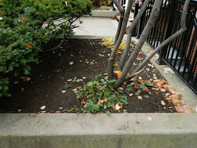 Toronto Garden District Courtyard Fall Cleanup After by Paul Jung Gardening Services--a Toronto Organic Gardener