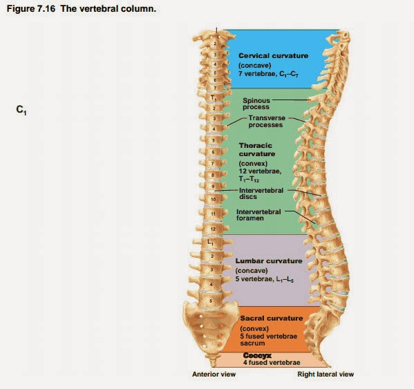 Vertebral Column: Mnemonic For Vertebral Column