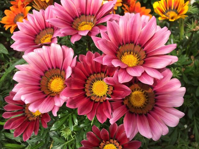rosa blühende Sommerblüten