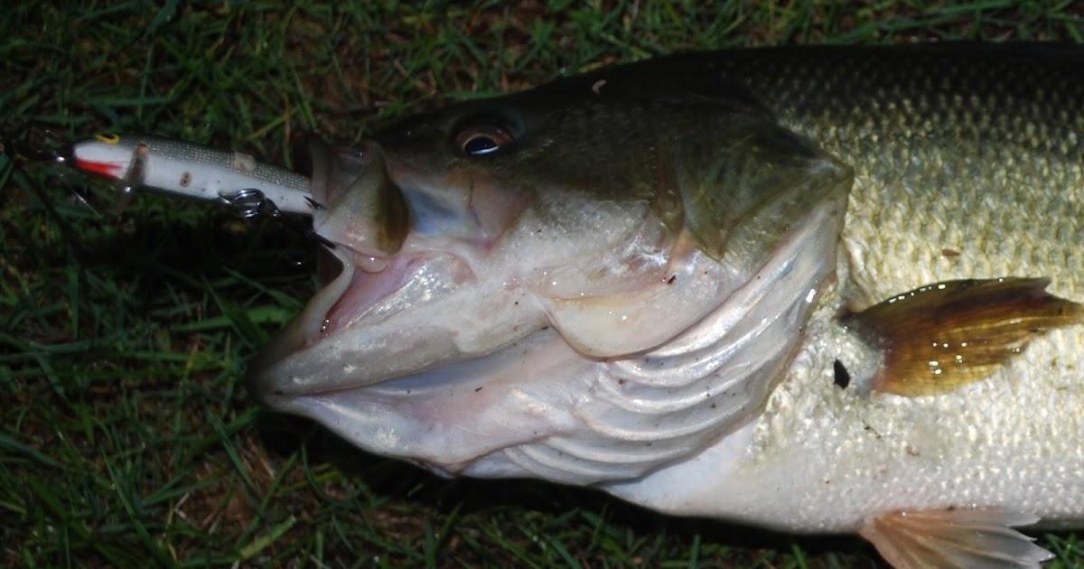 Litton 39 s fishing lines jerkbaits for largemouth bass for Bass fishing jerkbaits