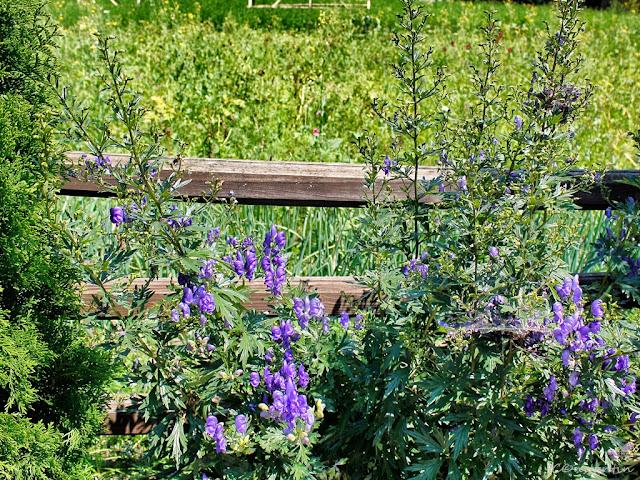 Florile de la gard - blog FOTO-IDEEA