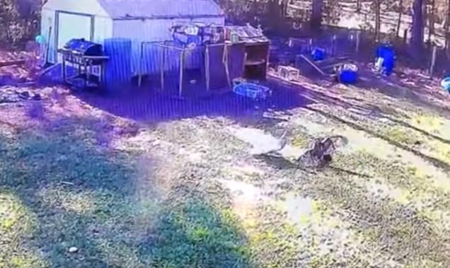pato falcão galinha ataque herói quinta