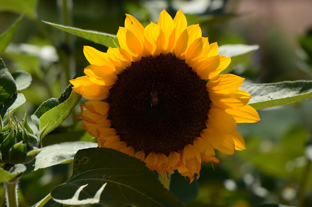 sunflower, cutting gold, amy myers, small sunny garden, desert garden,