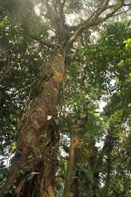 Ficus estrangulador en Costa Rica