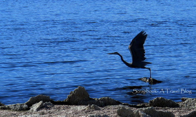 Heron at Salton Sea California