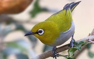 Suara Burung Pleci  Download mp3 Gacor Ngerol Disini (Lengkap ... 34ff31a3c3