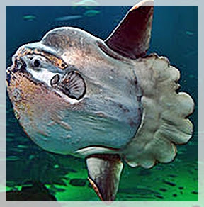 The ocean sunfish facts