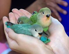 jenis lovebird berkualitas