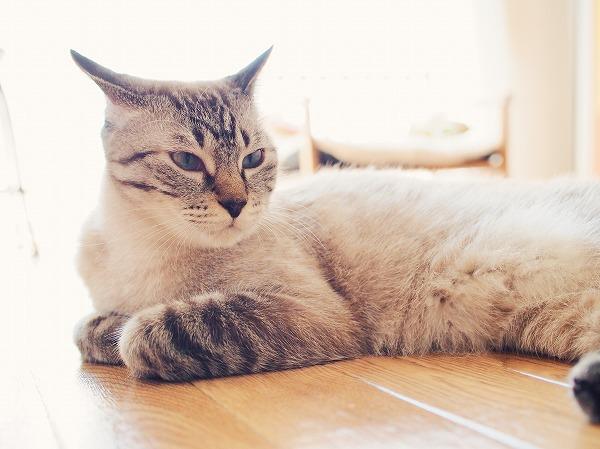 イカ耳時のシャムトラ猫