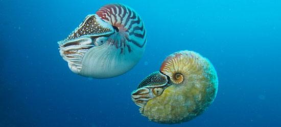 Nautilus pompilius (esquerda), e o raro Allonautilus scrobiculatus (direita)