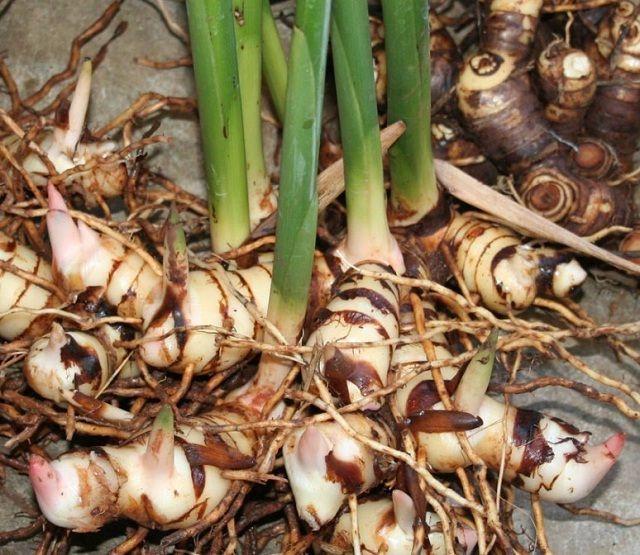 Cách trồng riềng và kinh nghiệm trồng củ riềng