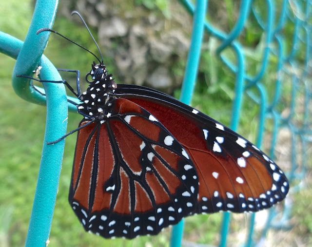 Queen butterfly on a chain-link fence