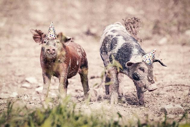 Membaca Kepribadian Orang Bershio Babi