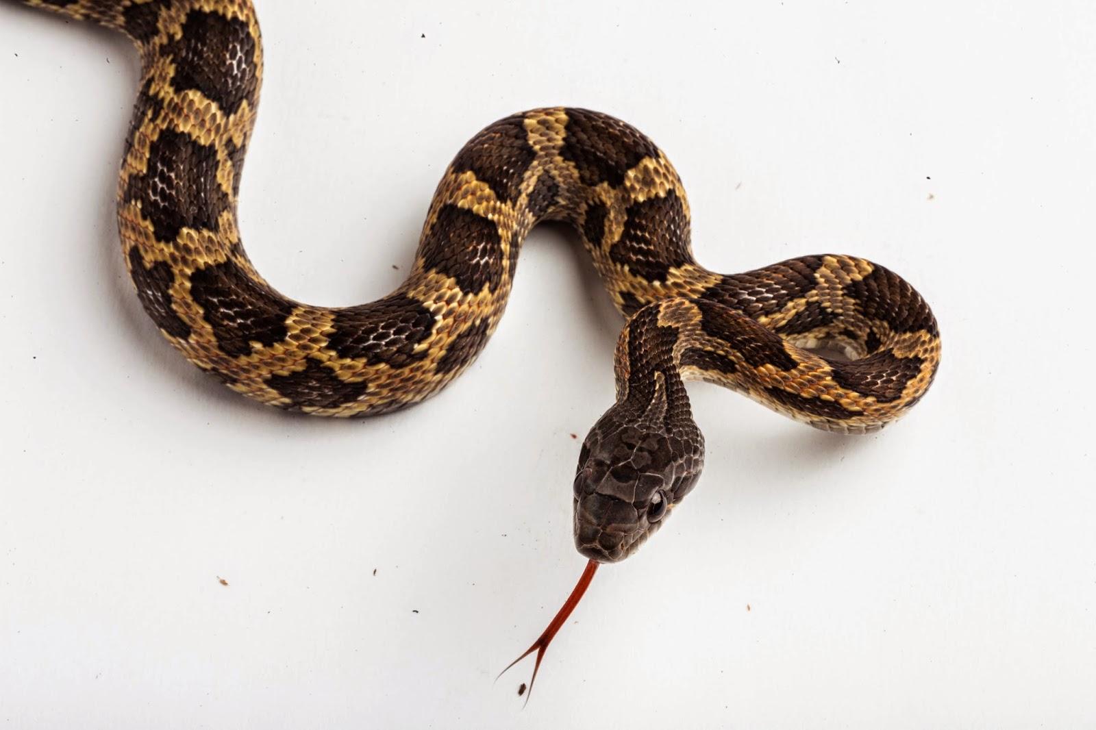 rat snake texas images - photo #9