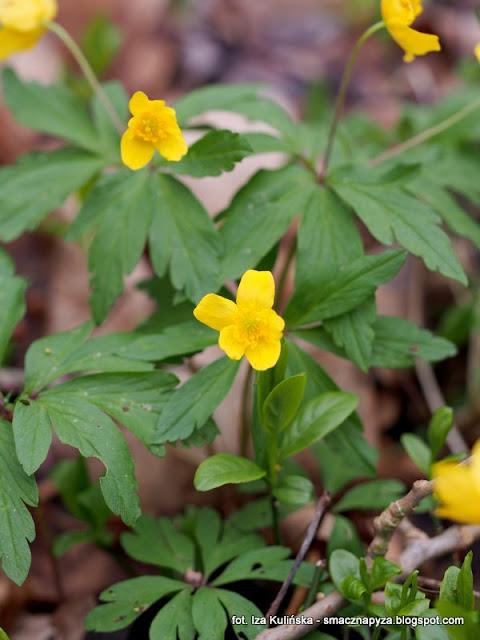 anemone ranunculoides, zawilec zolty, wiosna, kwiaty, kwiatki, kwiatek, las, prosto z lasu, spacer, wycieczka
