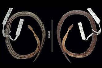 Misteriosa nova espécie de cobra é descoberta dentro de outra cobra