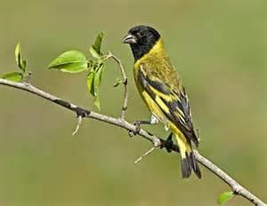Burung Hooded Siskin Suaranya Keren Juga