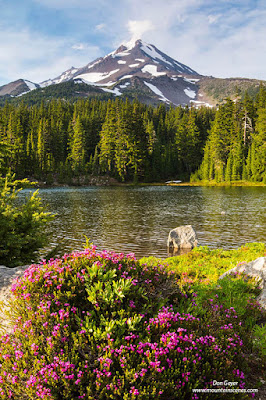 Mount Jefferson above pink heather and Shale Lake along the Pacific Crest Trail in the Mount Jefferson Wilderness, Willamette National Forest, Cascade Range, Oregon, USA.