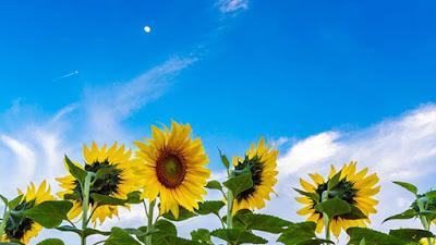 Hoa hướng dương đẹp nhất thế giới 4