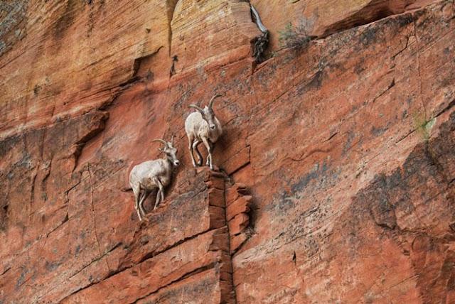 Πώς οι κατσίκες καταφέρνουν να ανεβοκατεβαίνουν σε σχεδόν κατακόρυφες επιφάνειες
