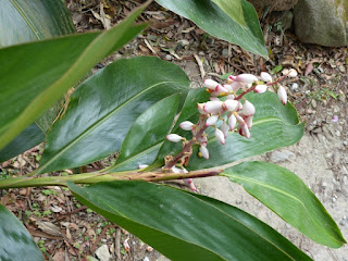Fleur de mon âme - Gingembre coquille - Longose - Larmes de la vierge - Fleur du paradis - Alpinia zerumbet