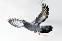 Posta güvercini, mesaj taşıyan kuş