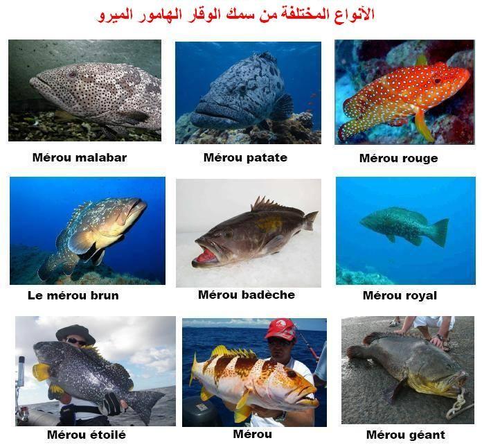مدونة نور للصيد تحت الماء تعريف سمك الميرو سمك الوقار سمك الفروج Le Merou