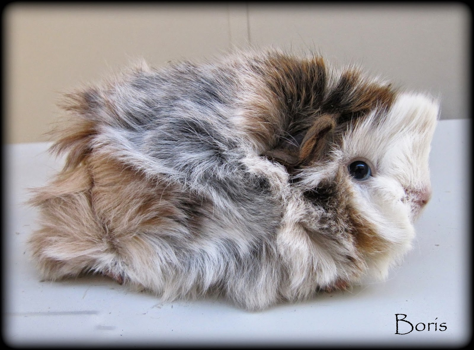 All Things Guinea Pig: Some Very fluffy new arrivals!