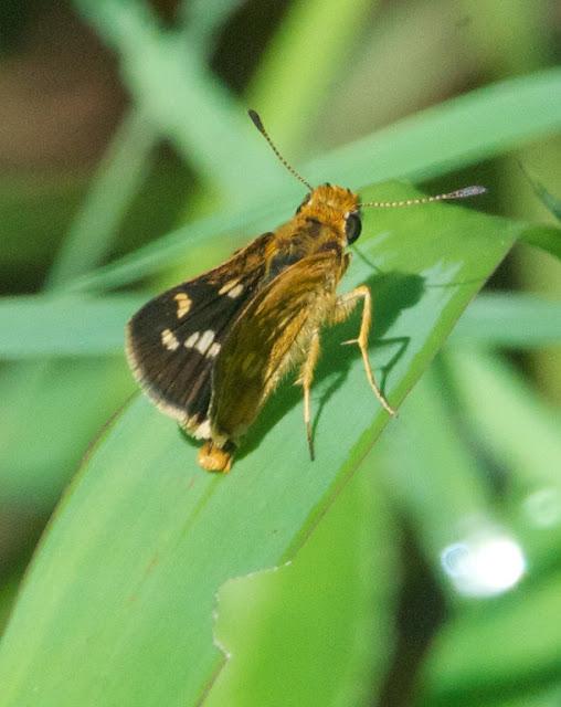 Spotted Grass Dart (Taractrocera ardonia)