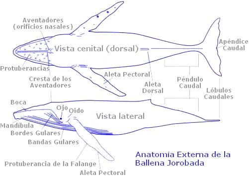 FILANAVAL: LA BALLENA ( CAZA DE LA BALLENA )