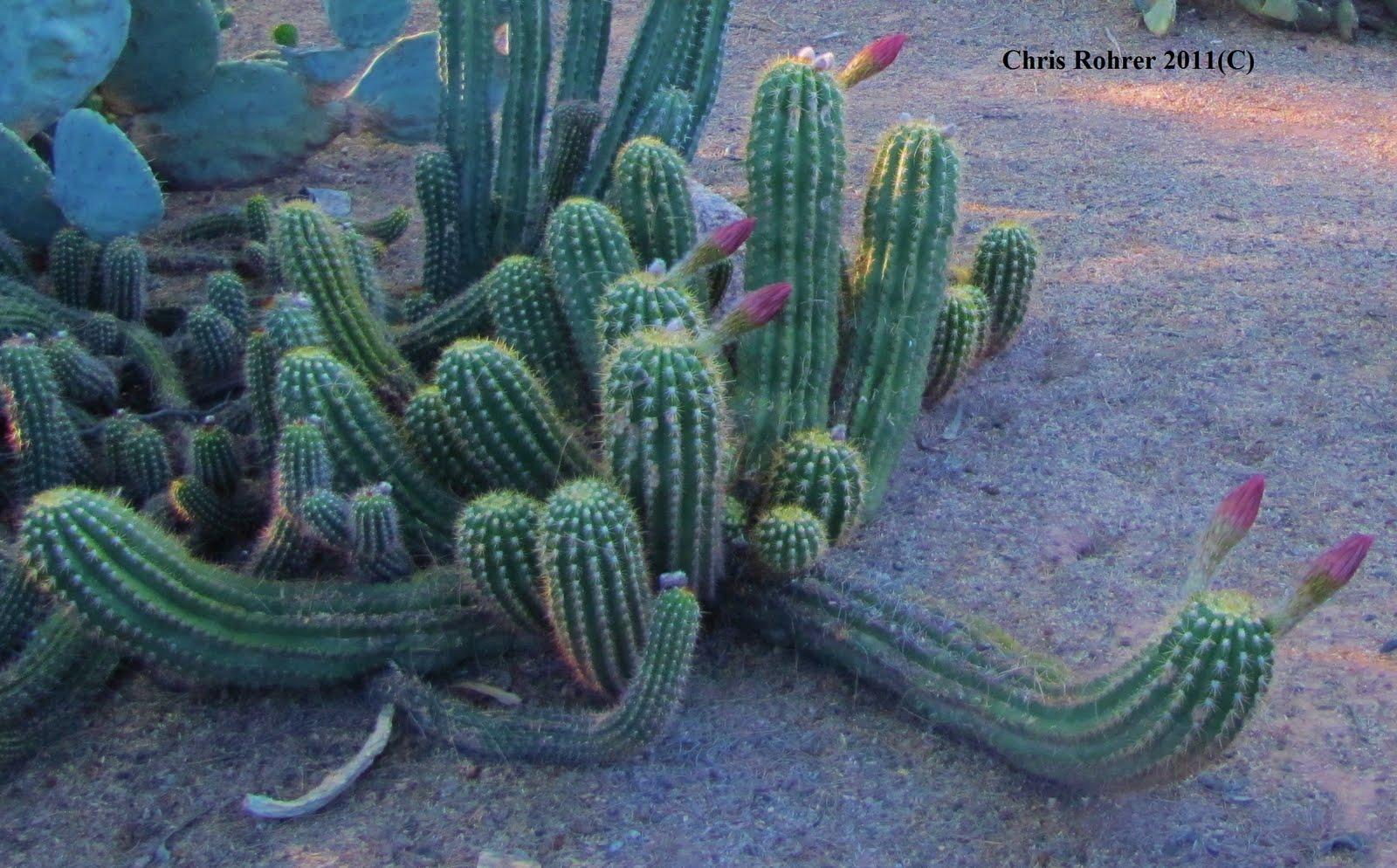 las aventuras argentine giant cactus