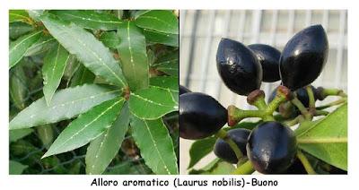 Alloro aromatico (Laurus nobilis)-Buono.