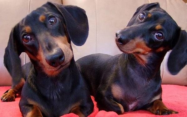 Entenda porque os cães viram a cabeça quando a gente fala com eles (Imagem: Reprodução/Segredos do Mundo)