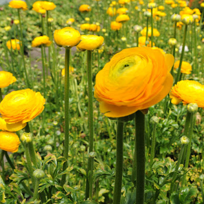 Yellow Bouquet Ranunculus