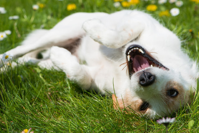 Essential info for dog owners, illustrated by a happy mixed-breed dog rolling in the grass