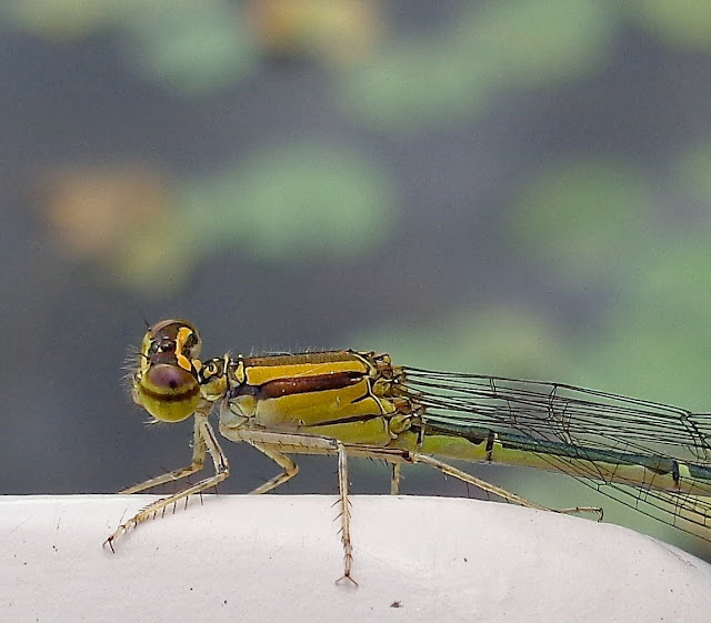 Damselfly on a bridge