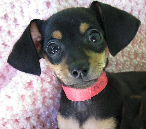 Chihuahua Mix Breeds Dog Training Home Dog Types