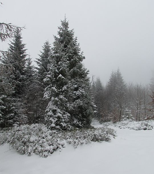 Stok porośnięty jest niezbyt gęsto świerkami i innymi drzewami.