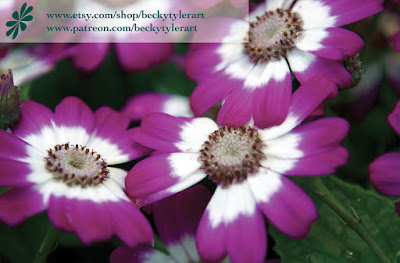 Cineraria, Macro Photography