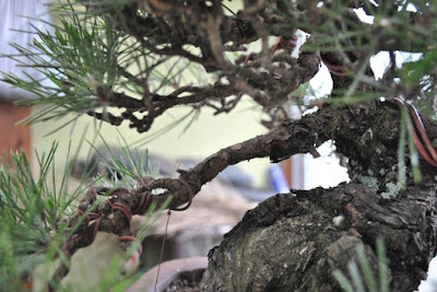 Bonsai wiring techniques - How to wire a bonsai the right way