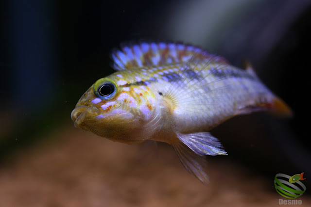 F1 of Apistogramma cf. Ortegai from Pebas