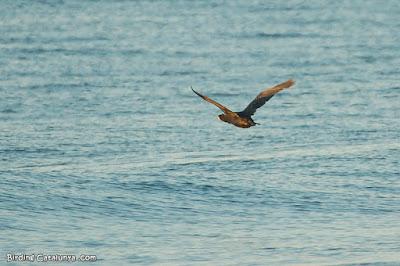 Corb marí gros (Phalacrocorax carbo)