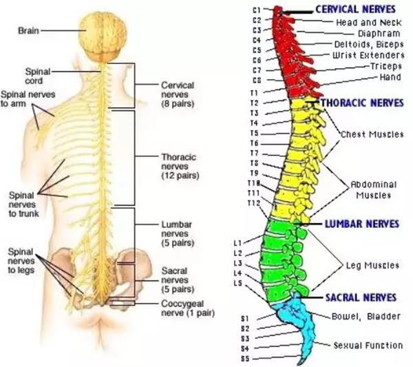 Pembagian lever saraf spinal