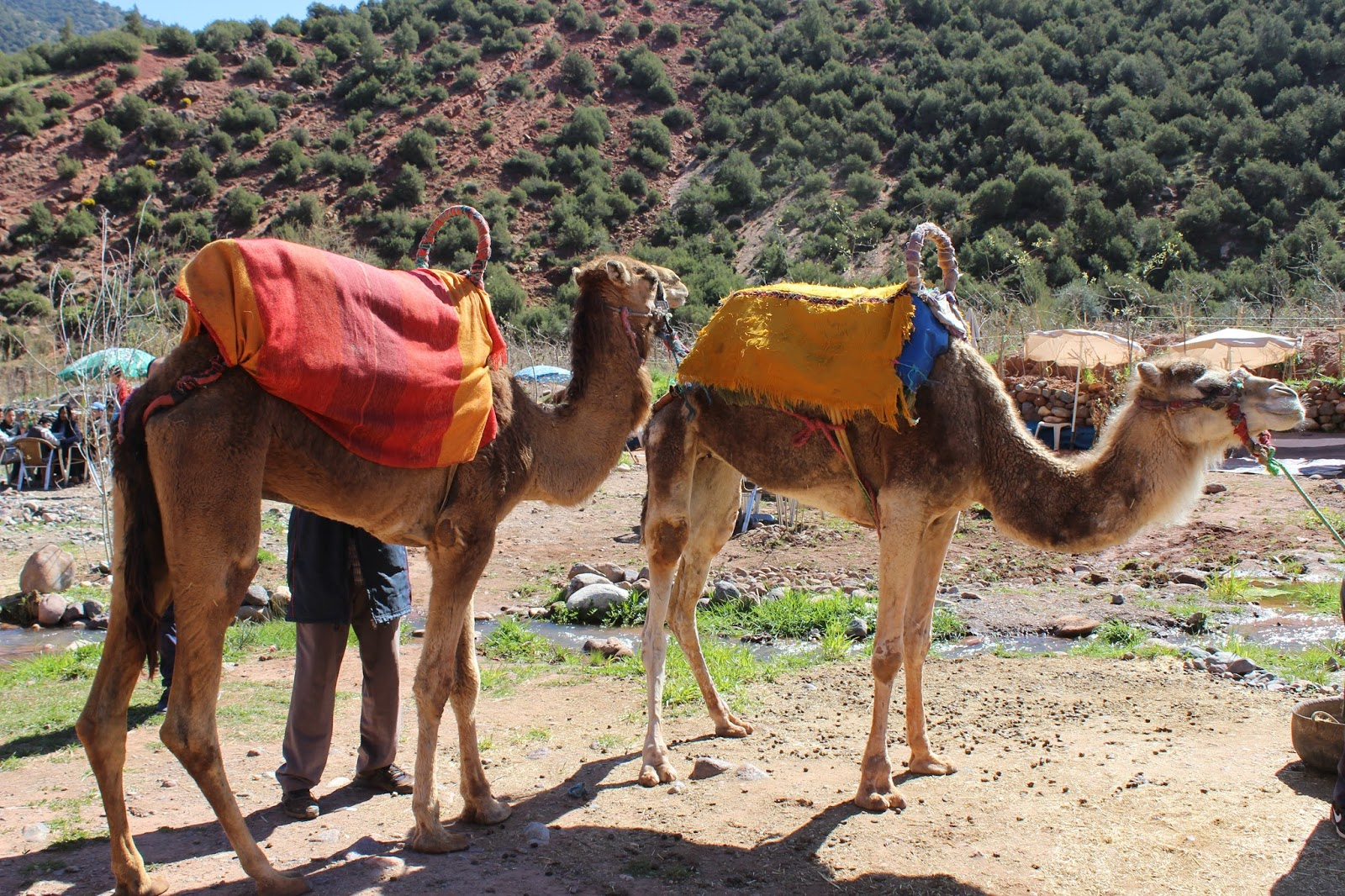 Moroccan camels