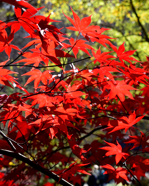 Japanese Maples ColorFest 2017 | Gibbs Gardens | Photo: Travis S. Taylor